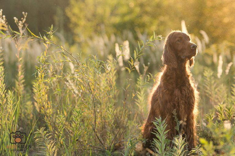 Sonnenuntergang beim Hundespaziergang mit Kameras Irish Setter Hündin Pepper sitzt
