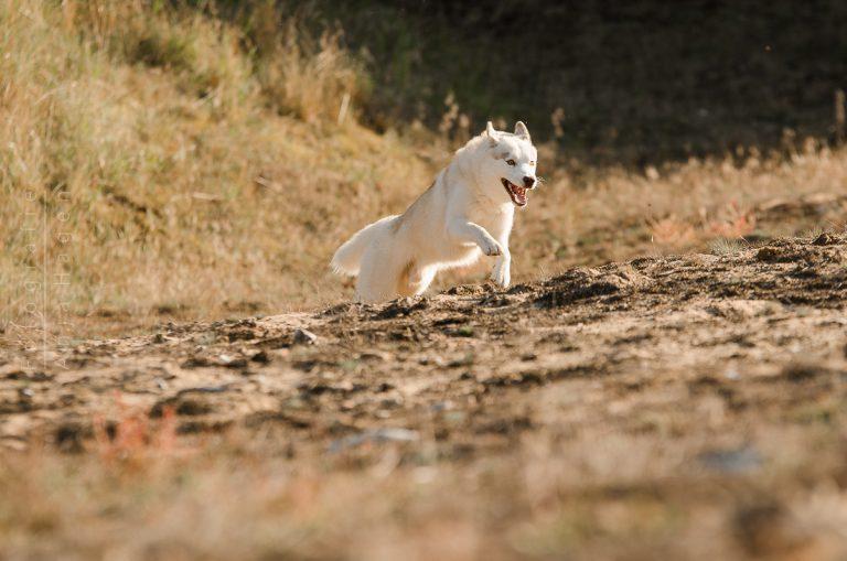 Actionhundefotografie bei Nürnberg mit Siberian Husky Elvis