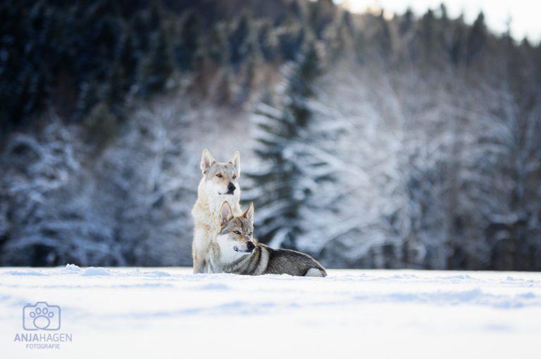 Tschechische-Wolfshunde-4