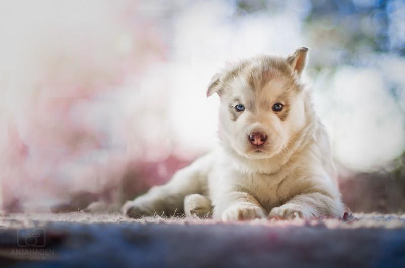 Huskywelpe bei Hundeshooting mit Fotografie Anja Hagen