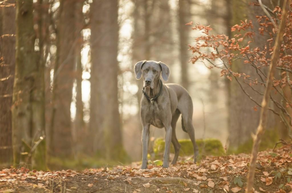 Im Zauberlicht beim Hundeshooting mit der Hundefotografin Anja Hagen aus Geretsried und Bad Tölz