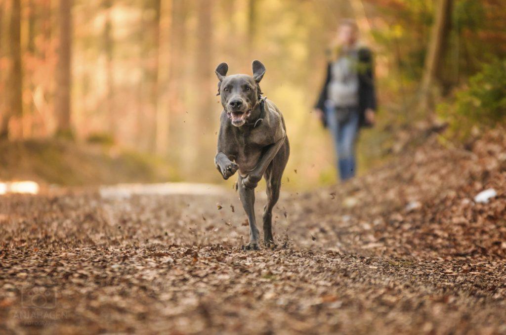 Blauer Weimaraner bei Hundeshooting in Geretsried