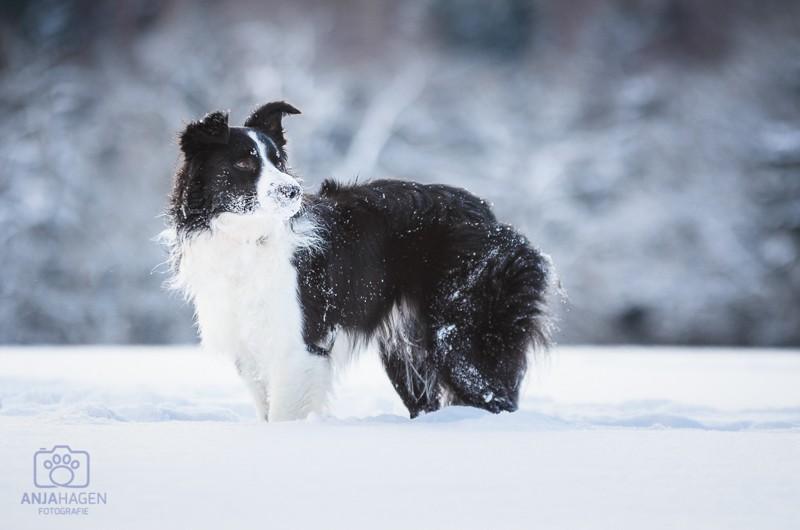 Border Collie Timmy mit Schneenase bei dem Hundeshooting mit Hundefotografin Anja Hagen