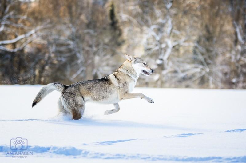 Tschechischer Wolfshund in Action bei Hundefotografie Anja Hagen Geretsried bei Bad Tölz