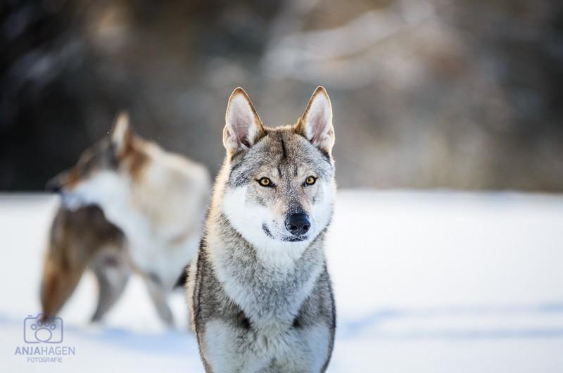 Wolfdog im Schnee