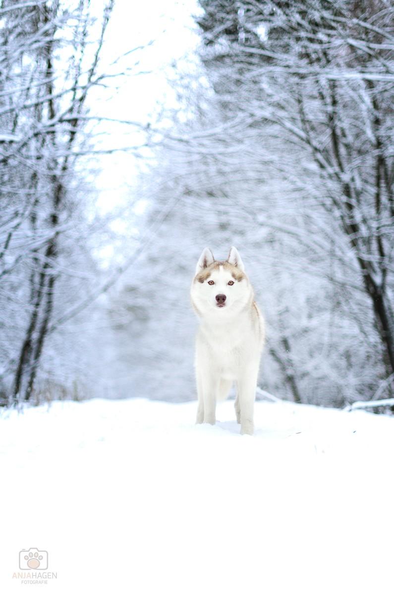 Standbild Husky Elvis im Schnee bei Schnaittach