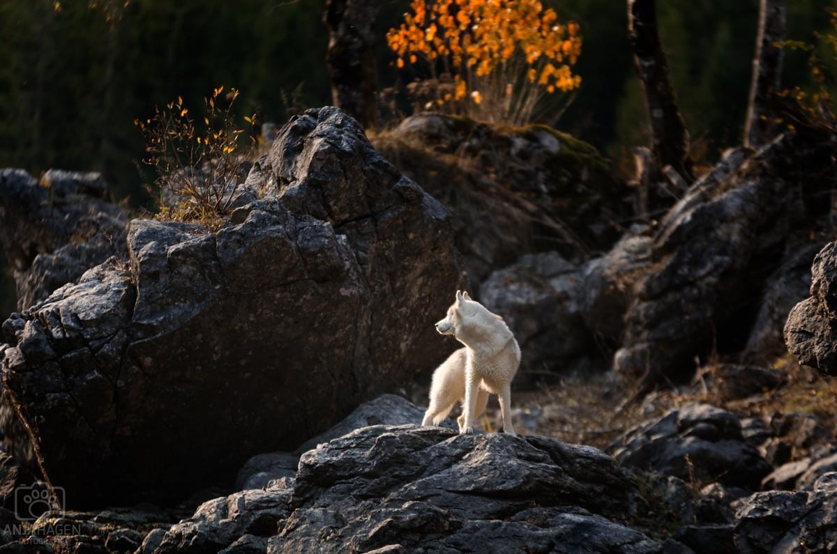 Husky Elvis steht auf Steinen am See