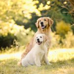 Golden Retriever Welpe bei Hundeshooting