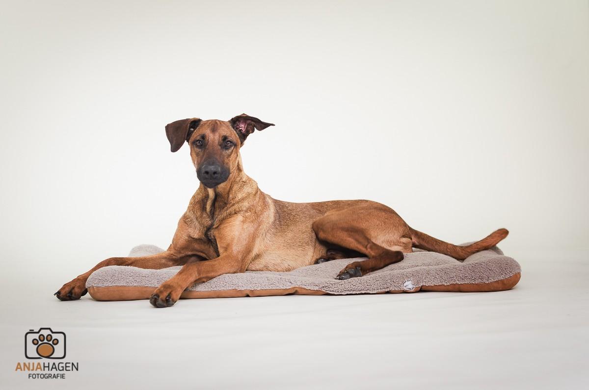 Hund auf Hundekissen mit süßen Ohren