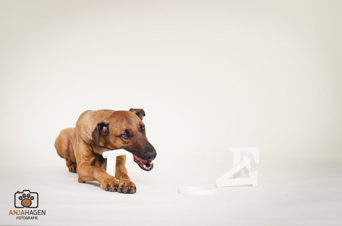 Lustiges Hundebild Hund knabbert Fotostudiodeko an