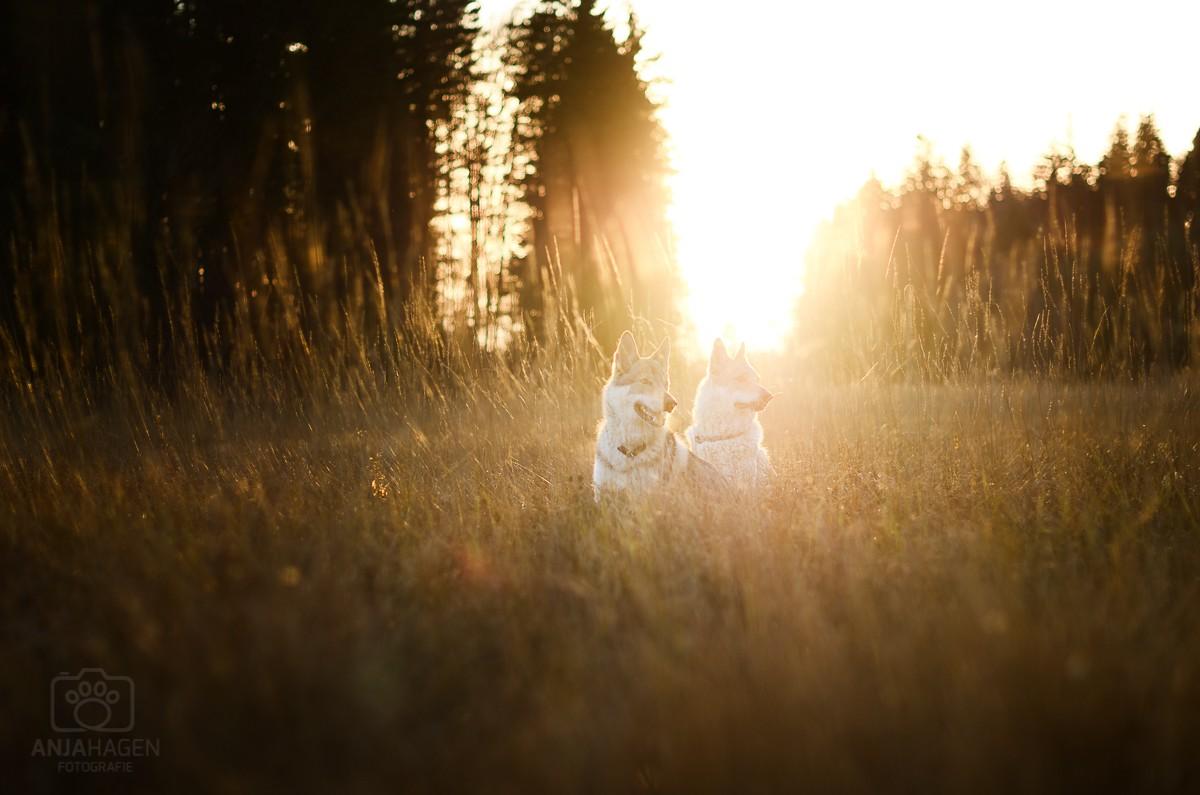 Zwei Wolfshunde im Sonnenuntergang am Kirchsee