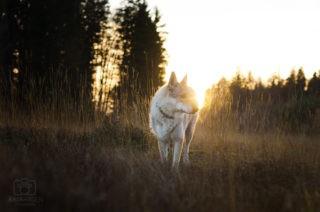 Sonnenstrahlen hinter Tschechischem Wolfshund im Feld
