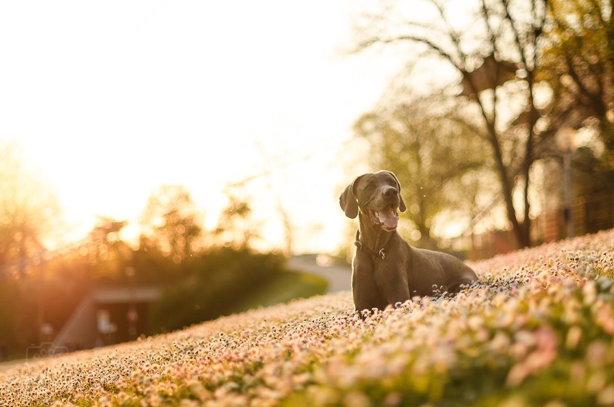 Blauer Weimaraner blickt zur Seite im Sonnenuntergang bei Hundeshooting im Olympiapark