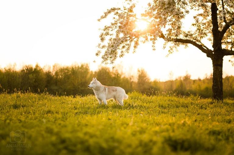 Standbild von Husky Elvis im Sonnenuntergang bei Kalchreuth