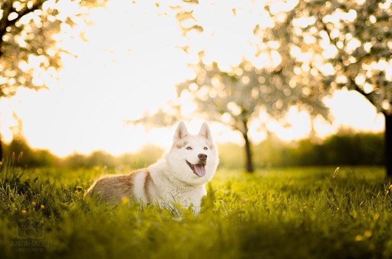 Husky Elvis liegt im Gras vor Kirschbäumen bei Hundeshooting